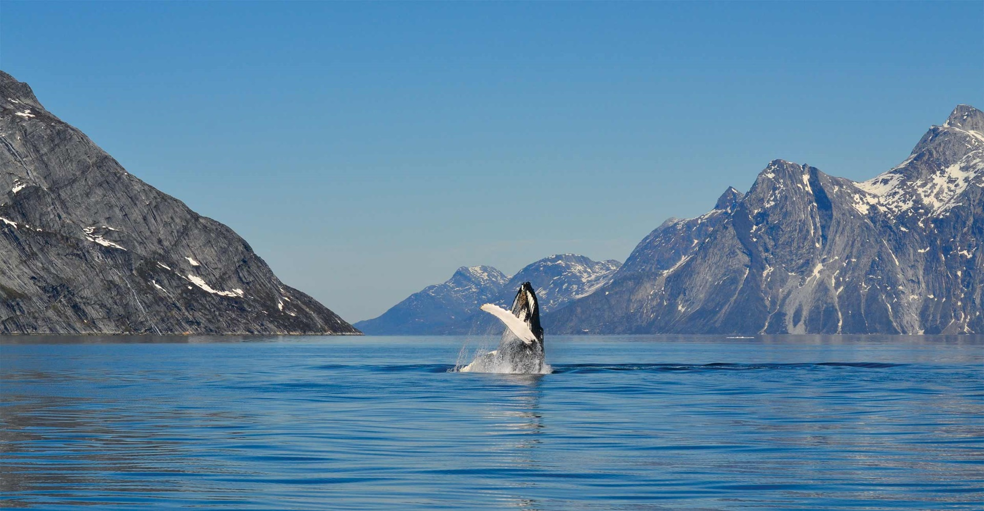 Aurora Expeditions - Humpback Whale in Nuuk Fjord
