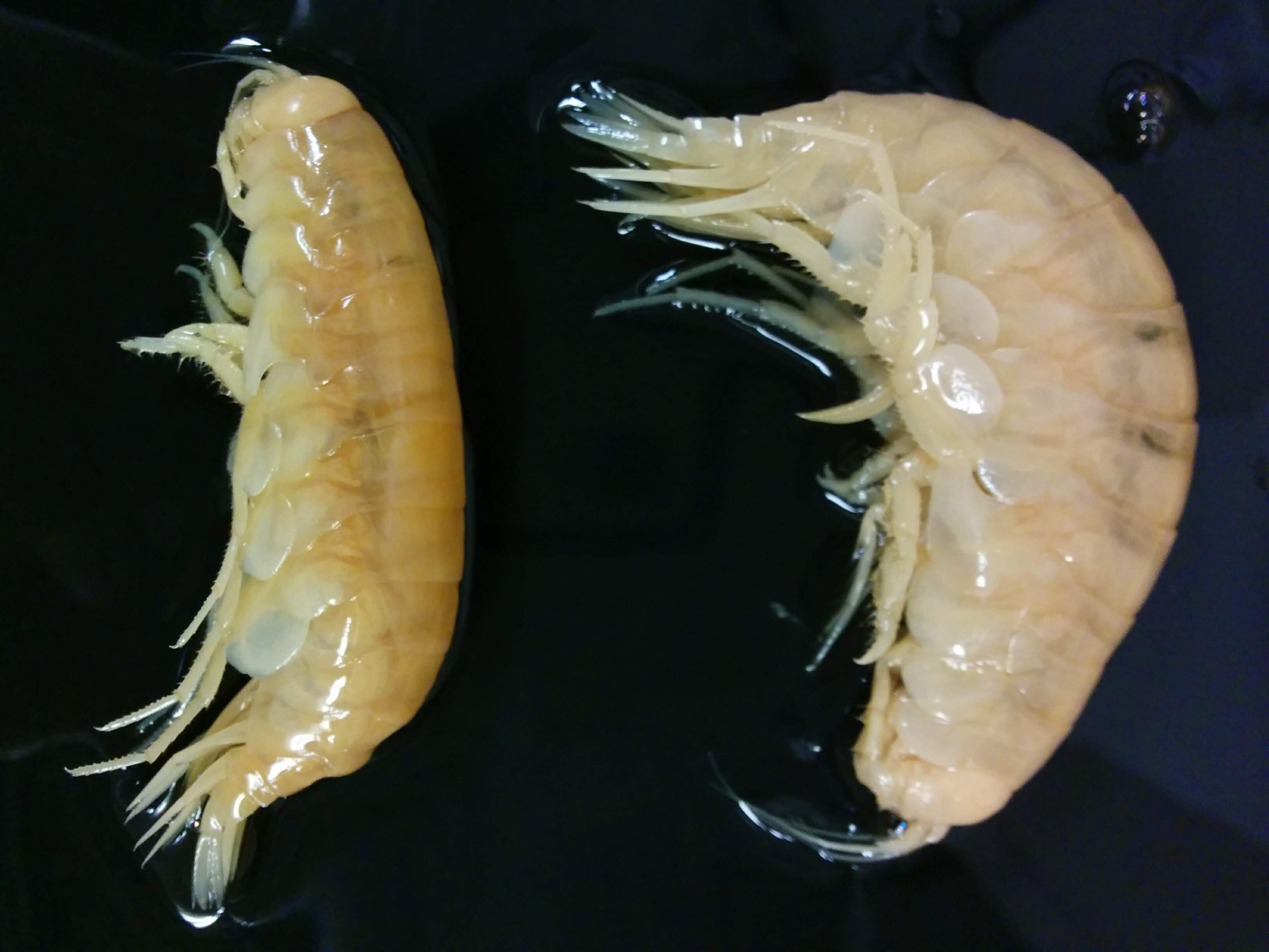 These shrimp-like crustaceans were collected 8,367 m deep in the New Britain Trench off Papua New Guinea. Giant amphipods (Alicella gigantea) are important scavengers in deep-sea ecosystems, and these specimens were caught using a trap baited with fish. Image: Charlotte Seid/Scripps Institution of Oceanography University of California San Diego.