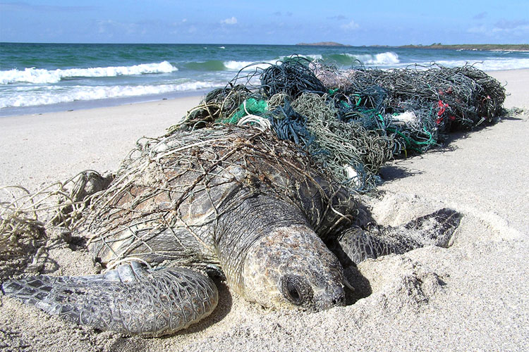 Olive ridley turtle in a medley of ghost nets. Image: Jane Dermer, courtesy of Ghostnets Australia.