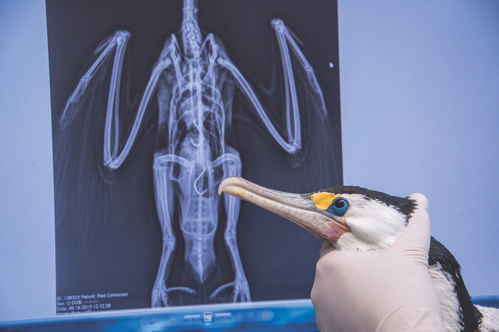 A veterinary surgeon at the Taronga Wildlife Hospital Pest Control holds up a pied cormorant following surgery to remove ingested fishing hooks, visible in the x-ray