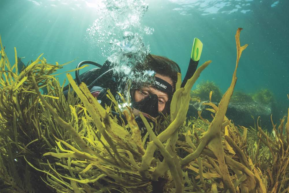 Operation Crayweed's Adriana Verges measures the growth of transplanted crayweed off Bondi Beach, an initiative working to restore this species along Sydney's coastline