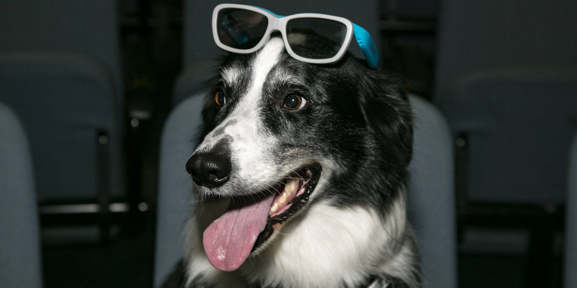Museum dog Bailey pictured wearing 3D glasses on his head in the theatre.