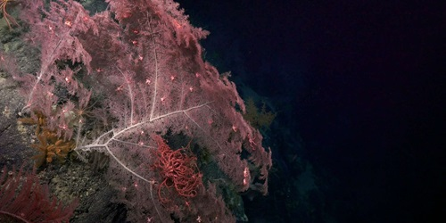 Large coral with associates. Image courtesy Schmidt Ocean Institute