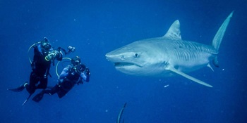 2 underwater divers filming a large great white shark