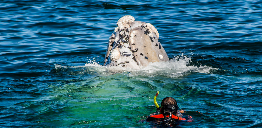 Snorkeling with a whale. Photograph: Michael Aw