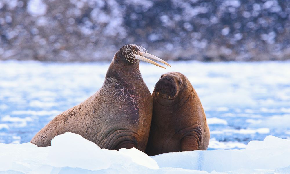 Mother and calf walruses (Odobenus rosmarus) rest on the ice. Emily Chan, Svalbard, 2015.