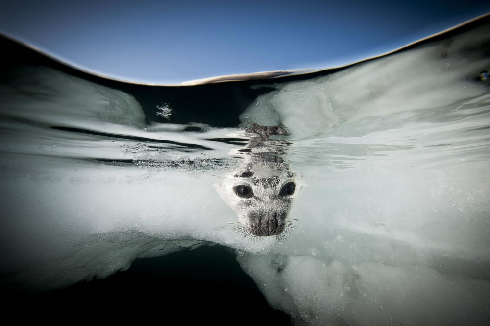 A harp seal (Pagophilus groenlandicus) peers through the water at the Gulf of St. Lawrence. Image Jennifer Hayes, Canada, 2015
