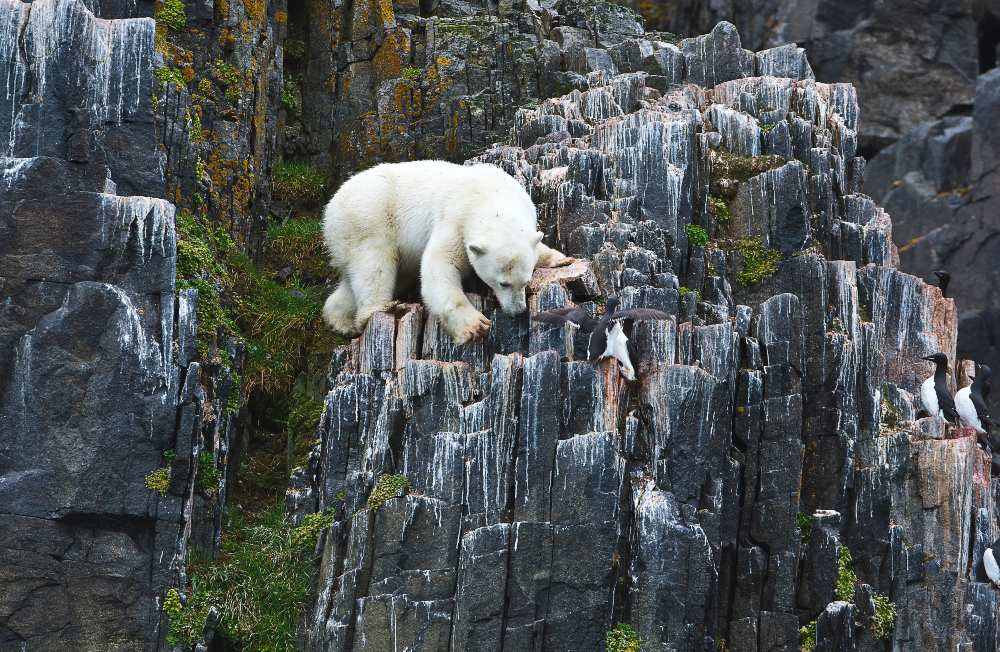 'I watched this young hungry polar bear taking great risks, scaling this steep cliff face for two hours to feed on guillemot chicks and eggs. That's like climbing Yosemite for a bag of chips.' (Michael AW, Elysium Arctic Project Director.) Image Michael AW, Svalbard, 2015.