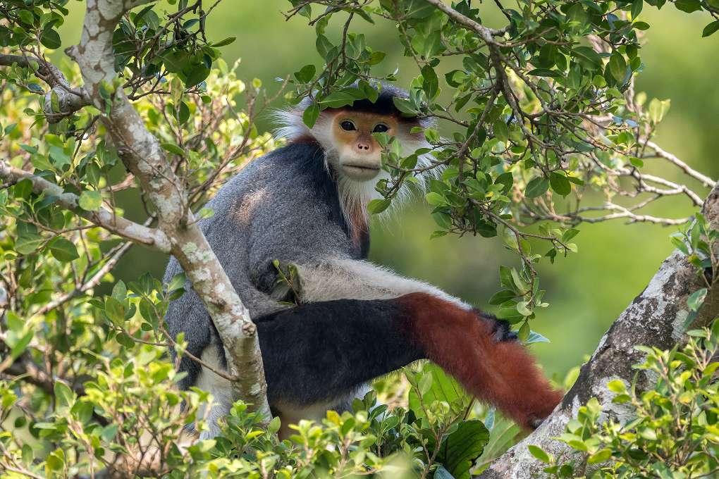 Treetop Douc © Arshdeep Singh