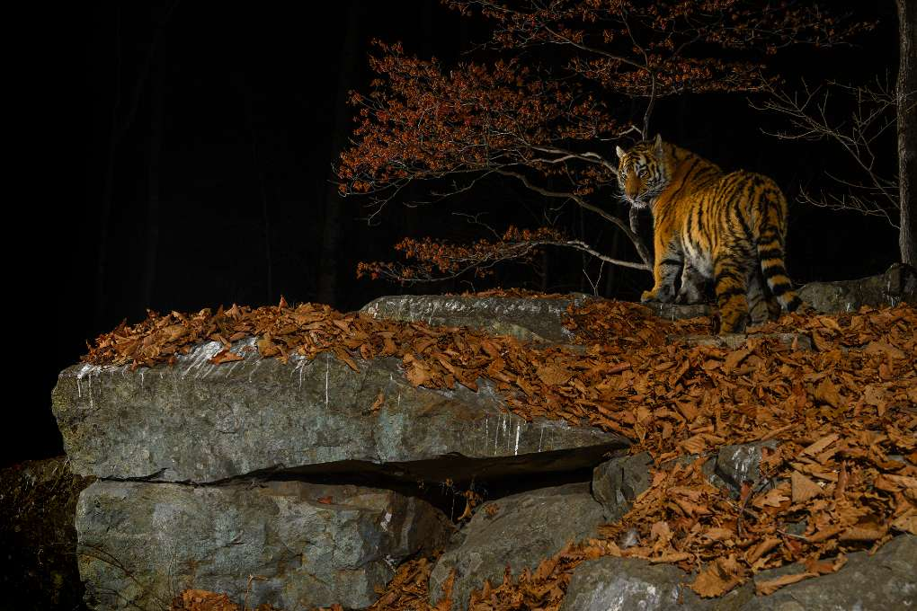 Taiga Tiger in the Night © Sergey Gorshkov