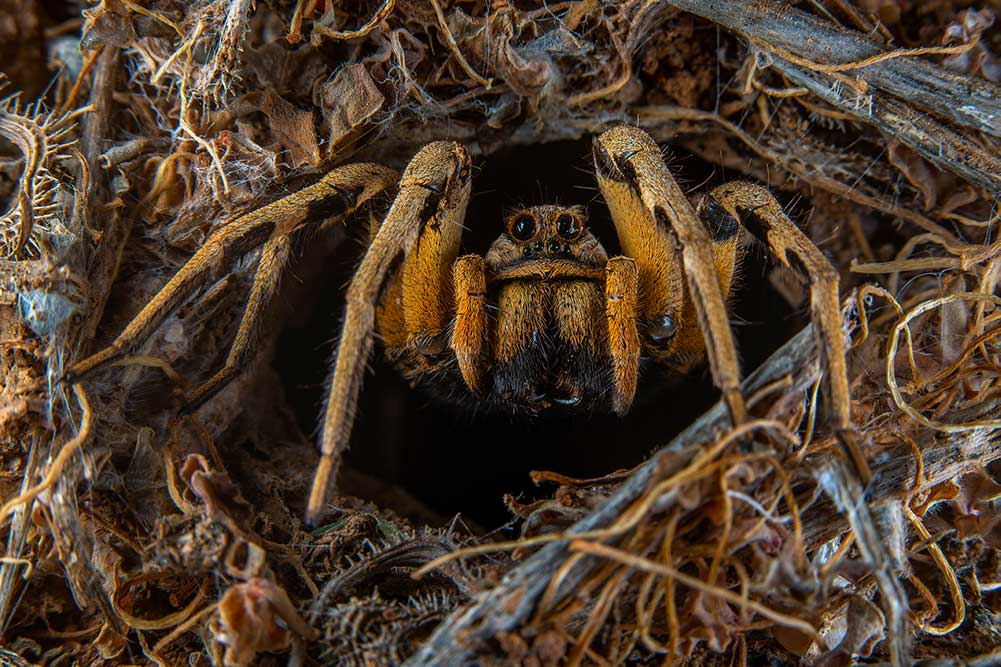 Highly Commended: Portrait of the Spanish Tarantula by Javier Aznar González de Rueda, Spain. Javier crouched down and the gleaming black eyes of a Spanish tarantula peeped out from the entrance to her lair. Her appearance was fleeting, but just long enough for Javier to capture this handsome portrait, which he hopes will 'change some people's minds about these spiders'.