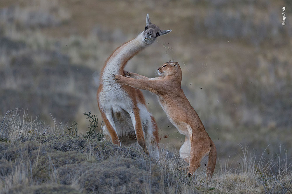 Joint Winner (Mammals): The Equal Match by Ingo Arndt, Germany. The guanaco turns, terrified, his last mouthful of grass flying in the wind as a female puma attacks. For Ingo, this is the culmination of months of work tracking wild pumas on foot, enduring extreme cold and biting winds. After an intense four-second struggle, the guanaco escaped with his life, leaving the puma to go hungry.