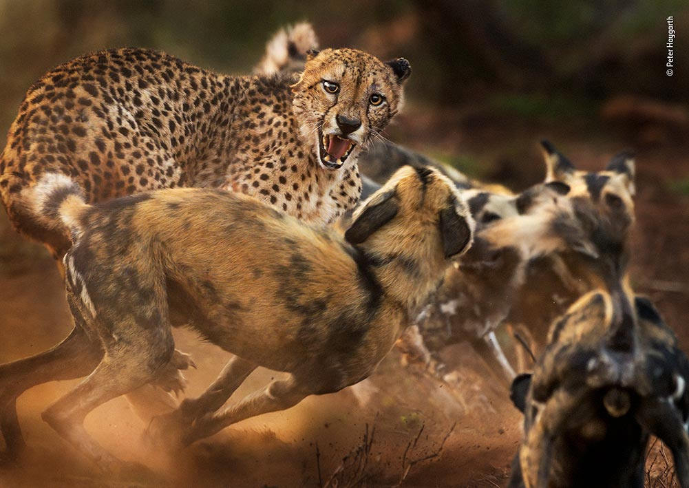 Highly Commended: Big Cat and Dog Spat by Peter Haygarth, UK. In a rare encounter, a lone male cheetah is set upon by a pack of African wild dogs. At first the dogs were wary, but as the rest of their 12-strong pack arrived their confidence grew. They began to encircle and probe the big cat, chirping with excitement. It was all over a few minutes later, when the cheetah fled.