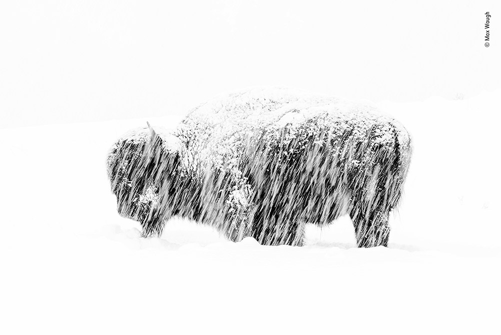 Winner: Snow Exposure by Max Waugh, USA. In a winter whiteout a lone American bison briefly lifts its head from its endless foraging. Max purposefully slowed his shutter speed to blur the snow and 'paint lines across the silhouette of the bison'. Slightly overexposing the shot and converting it to black and white accentuated the simplicity of the wintry scene.