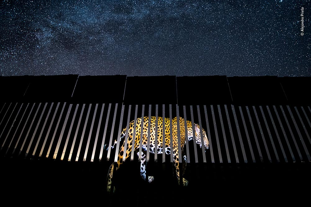 'Another Barred Migrant', Alejandro Prieto, Mexico. It took Alejandro two years to take the perfect photo of a male jaguar. Under a luminous, star-studded Arizona sky, he projects it onto a section of the US–Mexico border fence to symbolise 'the jaguar's past and its possible future presence in the United States. If the wall is built,' he says, 'it will destroy the jaguar population in the United States.'