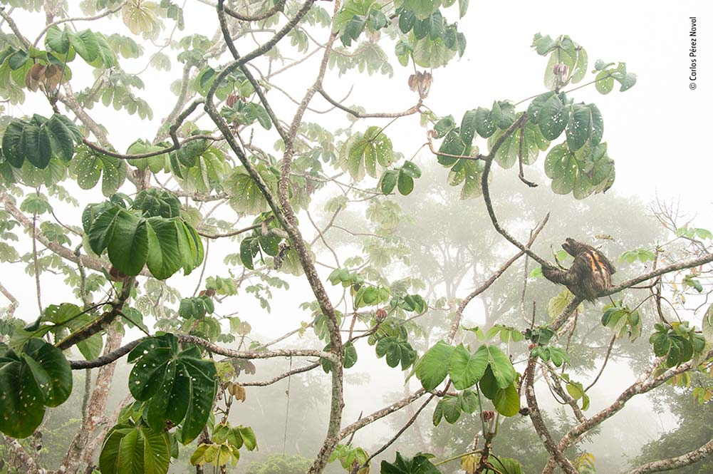'Canopy Hang-out', Carlos Pérez Naval, Spain. Carlos photographed this brown-throated three-toed sloth for several days as it rested, ate and slept in a cecropia tree. On this particular morning, with the forest cloaked in a thick fog, Carlos chose to switch cameras and move to a lower level of the observation tower. This shot, he feels, 'shows the essence of the forest'.