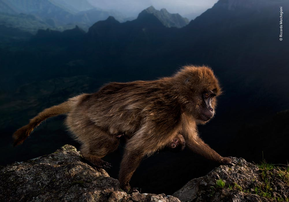 'Early Riser', Riccardo Marchegiani, Italy. Riccardo could not believe his luck when this female gelada walked along the cliff edge where he had been waiting since before sunrise. Keeping a respectful distance, Riccardo composed his shot using a low flash to highlight the gelada's light brown fur against the distant mountains. The beam also caught the eye of the inquisitive infant clinging to her belly.