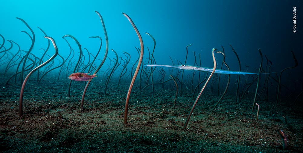 Winner (Underwater): The Garden of Eels by David Doubilet. A swaying colony of garden eels vanished into their burrows as soon as David arrived at this underwater scene. So as not to disturb them again, he set up his camera and hid behind a shipwreck where he could trigger the system remotely. It was several hours before the eels re-emerged and several days before David got his perfect shot.