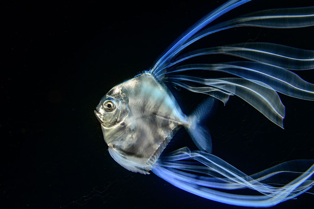 Highly Commended (Underwater): Blackwater Light Trails by Songda Cai, China. On a night dive over deep water, Songda captured the luminous fin rays – or filaments – of a juvenile African pompano. Curious, he followed the fish as it glided through the water. Photographing its side profile, Songda used a slow shutter speed to capture the motion and beauty of its colourful and extravagant trailing filaments.